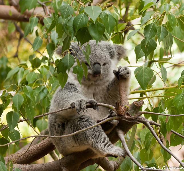 A Koala getting ready to take a nap