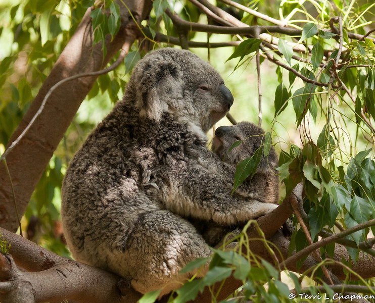 A mother Koala holding her Joey