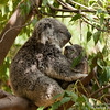 A mother Koala holding her Joey