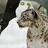 "Snow Leopard on ""Snow Day""<br /> <br /> The folklore of many local peoples across the snow leopards' range portrays the cats as shape-changing mountain spirits due to their solitary nature, elusive behavior, and almost supernatural ability to blend in among the rocks. With such efficient camouflage, snow leopards are nearly impossible to locate in the wild, which makes them very difficult to research and study.<br /> <br /> Status: Snow leopards are listed as Endangered by the International Union for Conservation of Nature (IUCN) due to poaching, habitat loss, prey base loss, and retributive killings. There are an estimated 4,000 to 7,000 individuals that survive globally, roughly 600 of which live in zoos worldwide. These big cats are hunted for their fur, which is especially valuable in Russia, Central Asia, and Eastern Europe as material for coats and other clothing, and for their bones and organs, which are used in traditional Chinese medicine. Loss of habitat is primarily due to the expansion of domestic farming and livestock herding. As high altitude grasslands are taken over by human development, the leopards' natural prey is crowded out, which forces the cats into preying upon livestock instead of other large mammals. This causes conflict with local people, who often retaliate by trapping, poisoning, or shooting snow leopards."