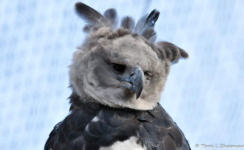 A beautiful Harpy Eagle looking pensive. Harpy Eagles are listed as Near Threatened by the International Union for Conservation of Nature (IUCN). These diurnal carnivores hunt arboreal (tree-living) mammals, reptiles, and other birds. Their most common animals of prey include monkeys, sloths, opossums, and other rodents.