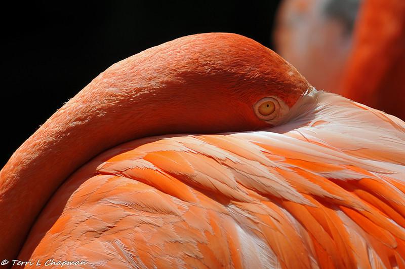 American Flamingo at The Los Angeles Zoo