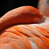 American Flamingo at The Los Angeles Zoo