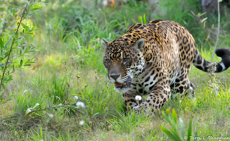 "In May of 2015, the LA Zoo celebrated the opening of a new Jaguar exhibit located in the Rainforest of the Americas. This stunning male Jaguar is one of the residents of the 7,100 square-foot habitat, which was built on a hillside and features a waterfall and pool for the cats to swim in, deadwood trees on which they can climb, and abundant landscaping through which they can wander, such as tall grasses, shrubs, ficus trees and banana plants.<br /> <br /> The jaguar is ""near threatened."" Since 1900, jaguars have disappeared from over 50% of their range due to persecution by livestock ranchers, degradation of habitat, and human hunting of the jaguar's prey. In many countries, jaguars are protected, but enforcement is difficult and jaguar skins are still sold on the black market. Wild jaguars live 12 to 15 years. In captivity, jaguars live up to 25 years."