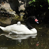 Black-necked Swan mother and her cygnet