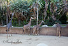 Masai Giraffes.  I had wished they'd all turn around and look at me, but not luck!