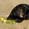 American Black Bear enjoying his breakfast