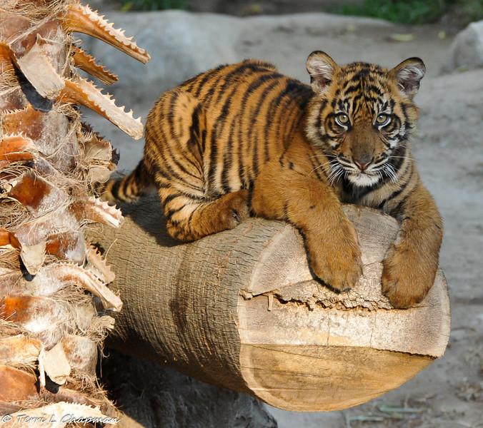 Sumatran Tiger Cub (male) born August 6, 2011