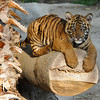 Sumatran Tiger Cub (male) born August 6, 2011