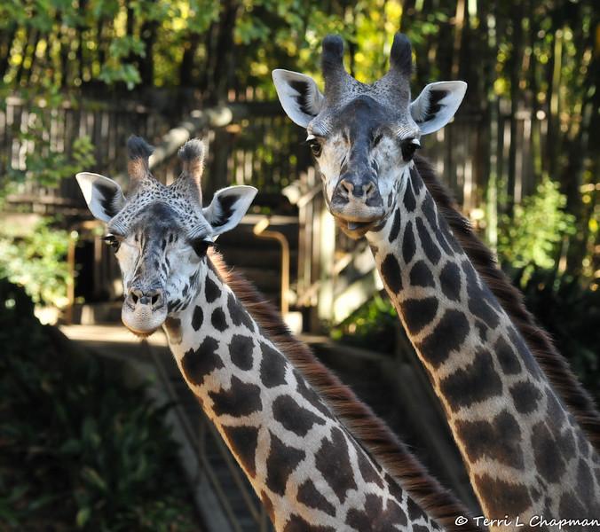 Female Masai Giraffes