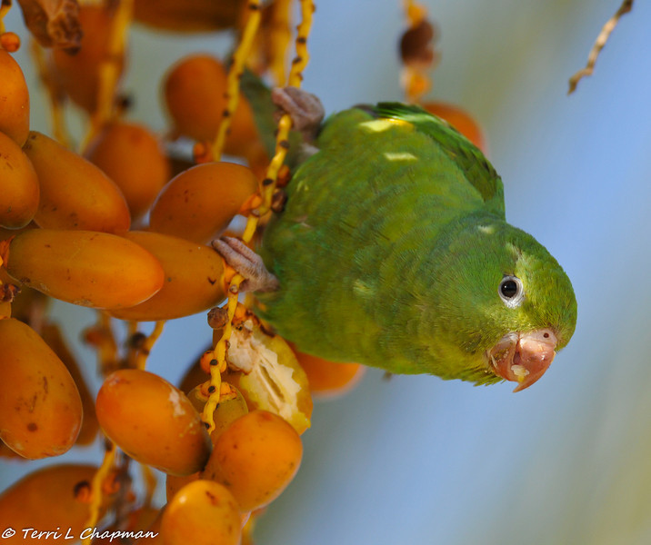 A wild Yellow-chevroned Parakeet enjoying dates in the palm trees located at the front entrance of the zoo.