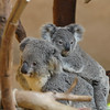 A little koala joey hitching a ride on its mother's back