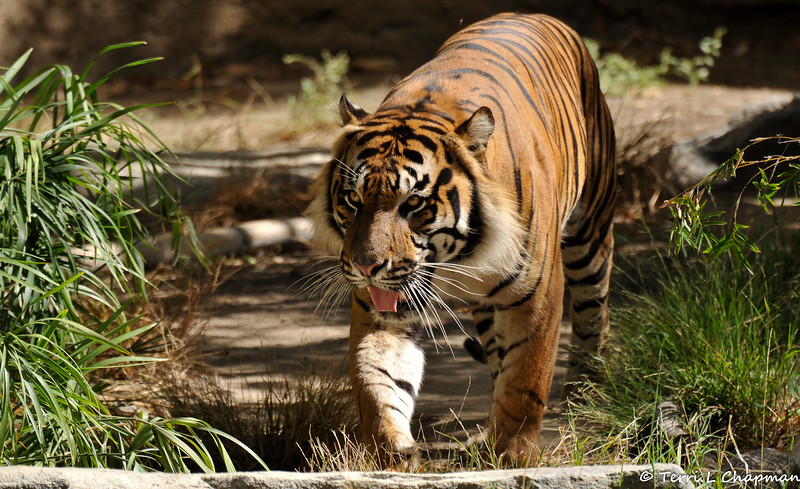 This endangered Sumatran Tiger named Castro Jr., or C.J. as he is commonly known, was born on March 3, 2013 at the Sacramento Zoo where he was a favorite among guests. C.J was moved to the LA Zoo  and made his public debut on February 6, 2015.<br /> <br /> C.J. is a potential breeding partner for the Zoo's female Sumatran Tiger, Indah, because the Sumatran tiger is one of the most endangered subspecies of tiger in the world. There are less than 400 left in the wild.