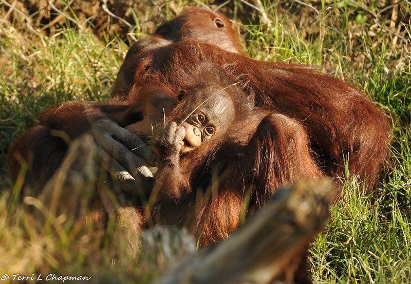 Bornean Orangutan baby and her mother enjoying laying in the grass on a sunny day
