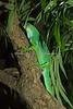 Figi Island Banded Iguana