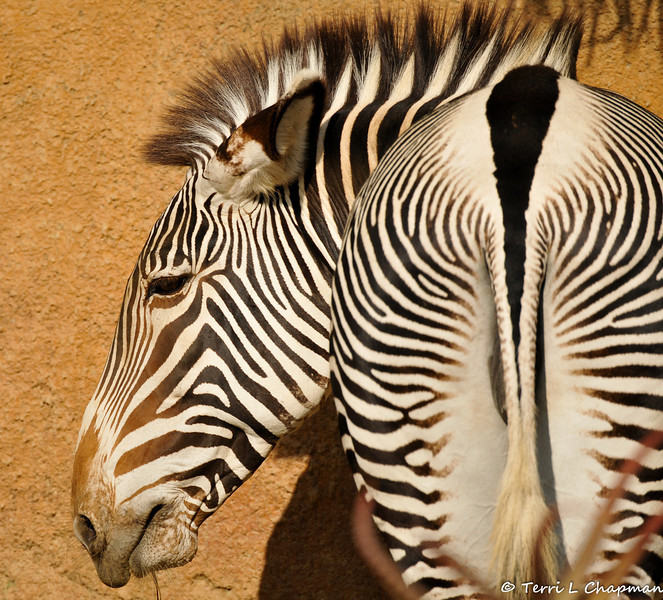 A Grevy's Zebra. The stripe pattern of a Grevy's zebra is as distinctive as human fingerprints. It is also the most important adaptation for its survival, as movements of stripes within the herd are very confusing to a predator.<br /> <br /> STATUS: Endangered; competition with livestock, reduced access to watering holes and habitat destruction all contribute to a decrease of the species. The L.A. Zoo participates in Species Survival Plan efforts to preserve the Grevy's zebra.