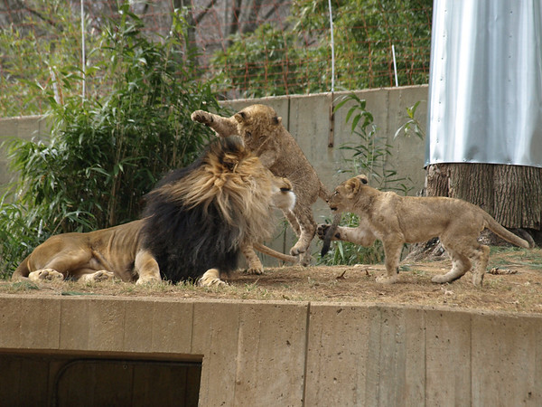 Lots of Lions
