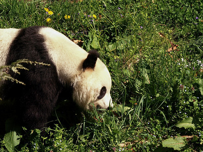 Panda in the grass.
