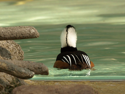 Hooded Merganser in full display, rear view.