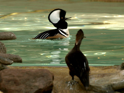 Be mine! A male Hooded Merganser in full display. Female is at right.