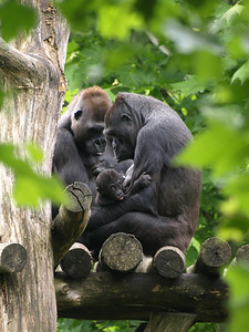 Baby Kibbibi is five months old. Her mother, Mandara, is holding her as big sister watches.