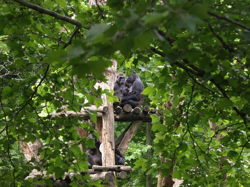 Tree dwellers. Western lowland Gorillas at Washington's National Zoo.