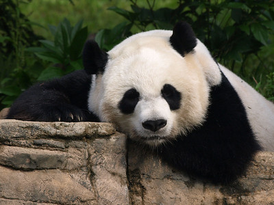 Mei takes a nap. Giant Panda at the National Zoo.