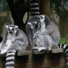 Grumpy old men. Or maybe just Ring tailed lemurs passing the time.