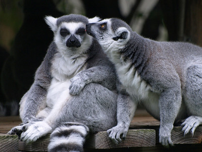 """Ring tailed Lemurs. """"Wait! There's something in your eye."""""""