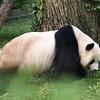 Tian takes a walk. Giant Panda at the National Zoo.