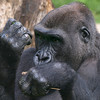 Kwame checks his nails. Kwame is a western lowland gorilla and will be 10 years old in November.