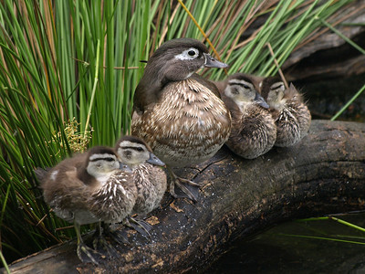 Do you know what kind of ducks these are?