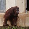 Orangutan Lucy walks on hands and feet, all upright.
