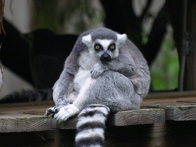 """A Ring tailed lemur stares back. """"Glasses! I need glasses!"""""""