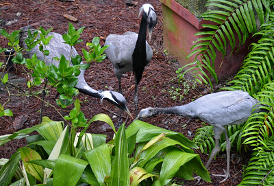 Demoiselle Cranes and Chick