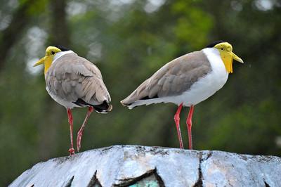 Masked Lapwings