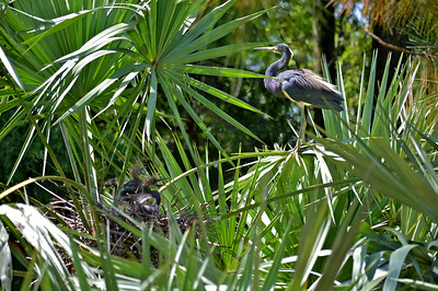 Tir Colored heron and nest
