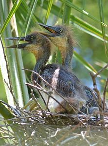 Tri Colored Heron Babies