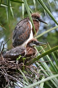Tri-Colored Heron Chicks