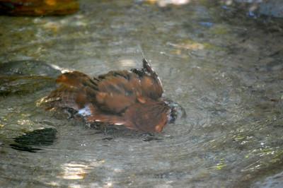 Bathing Screech Owl