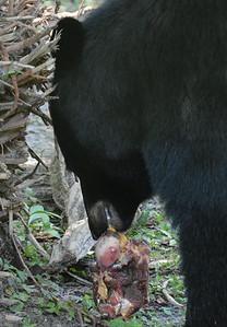 Florida Black Bear and horse knuckle