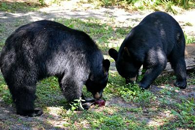 Florida Black Bears