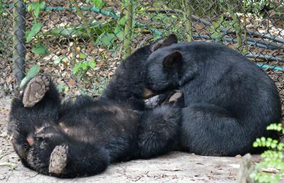 Florida Black Bears Playing