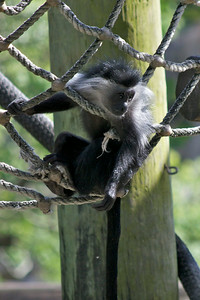 Colobus monkey baby (6 mos)