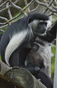 Colobus monkey and 6 mos old baby