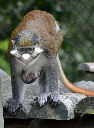 Guenon Monkey with 1 day old baby