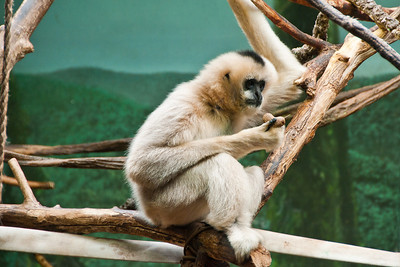 This gibbon was watching another that was doing some wild swinging and mugging for the visitors.