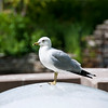 Seagulls are like pigeons in a way, but nicer to photograph.