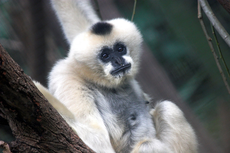 A White Cheeked Gibbon. This female has both white cheeks and is mostly white everywhere else as well. Her male companion was mostly black - except for his cheeks.