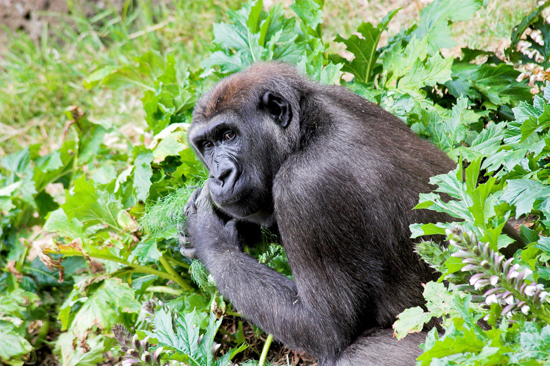 A gorilla with lunch.